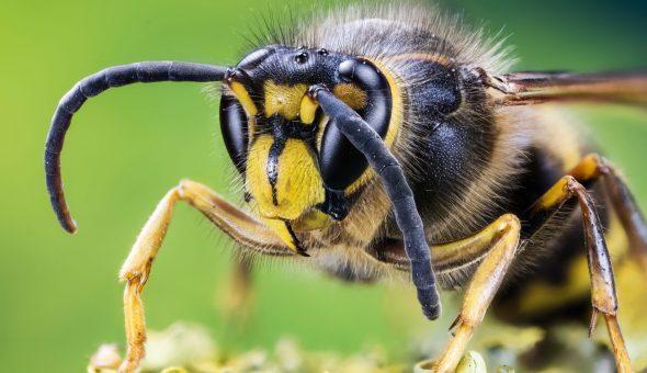 строение осы
